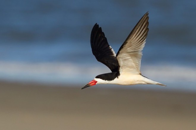 A Black Skimmer flies over a beach.