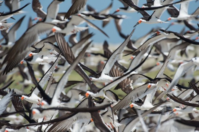 A large flock of Black Skimmers flies over a beach.