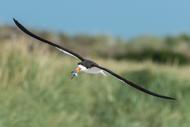 A Black Skimmer flies with a fish in its bill.