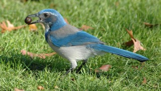 California Scrub-Jay, formerly Western Scrub-Jay, at Waterfront Park in Portland, Oregon, November 2005 (Wikimedia Commons).