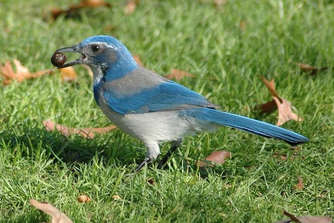 Bird news: California Scrub-Jay, formerly Western Scrub-Jay, in Portland, Oregon.