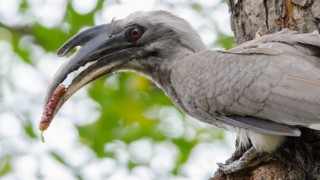 Indian Grey Hornbill, by dharmveer suthar.