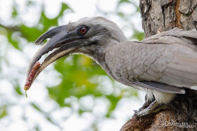 Indian Grey Hornbill, by dharmveer suthar.