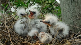 Four Great Egret chicks wait to be fed in a nest in Florida. Image courtesy of asharkyu/Shutterstuck.