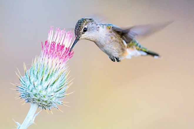 Calliope Hummingbird, Tehachapi, California, July 2013. Photo by Brent Bremer.