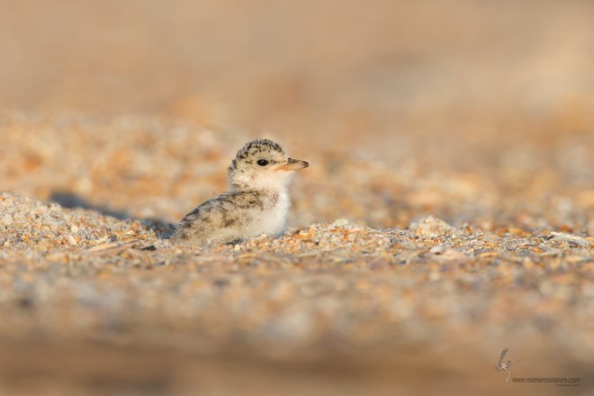 Least Tern Chick_660x440