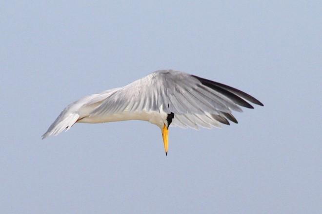 Least Tern Looking Down_660x440