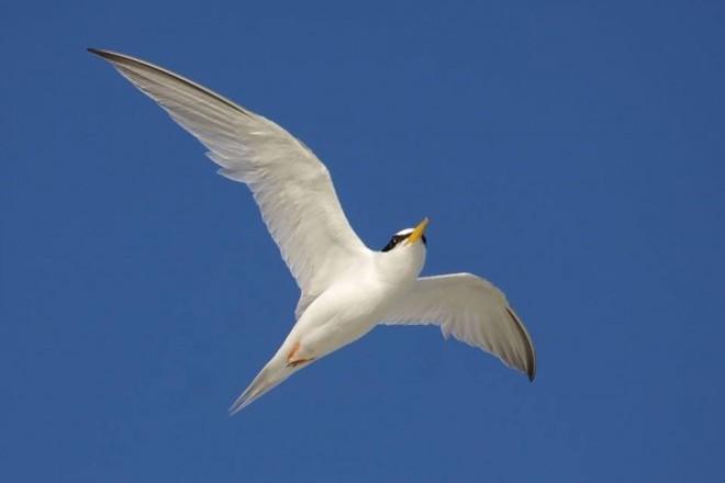 Least Tern Overhead_660x440