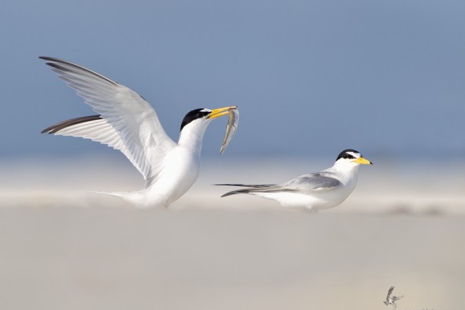 Least Tern Pair_660x440