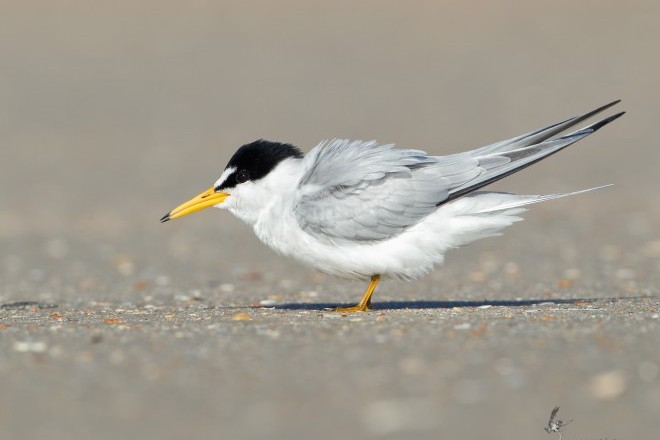 Least Tern Side View_660x440
