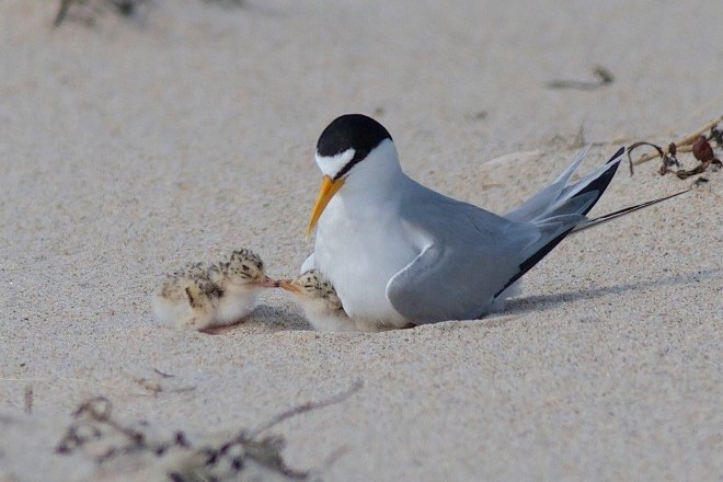 Least Tern with Chicks_660x440