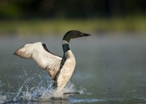 Loon-for-Birdwatching-Magazine