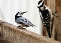 Nuthatch-Hairy-012