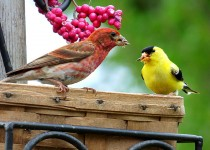 Purple Finch and American Goldfinch