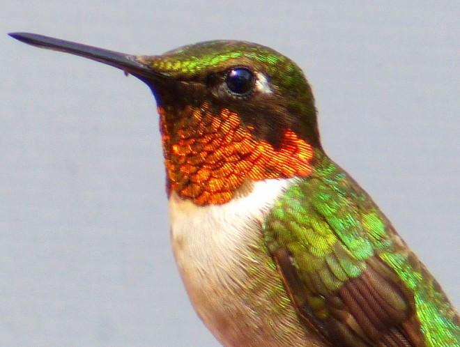 Ruby throated hummingbird baby - photo#26