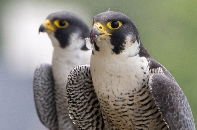 A pair of Peregrine Falcons in Chicago's Uptown. Photo by Stephanie Ware, the Field Museum.