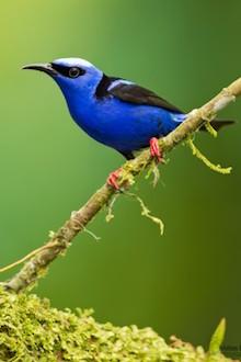 Bird news: Red-legged Honeycreeper in Costa Rica.