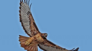 Red-tailed-Hawk_660x440