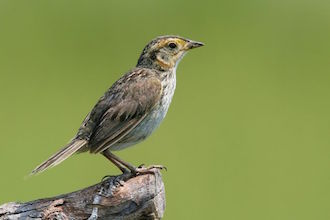 Saltmarsh Sparrow made bird news recently.