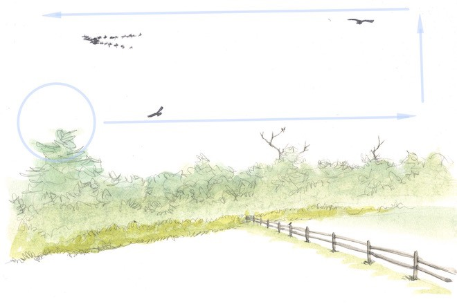 Blue arrows (above) show how to move your binoculars to find distant birds. Start with a distant treetop (circle) and scan the sky just above the tree line. Then raise your binoculars and look higher while scanning in the other direction. Also, pay special attention to bare snags, field edges, fence posts, and other likely perches. Art by David Allen Sibley.
