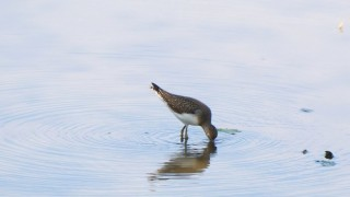 Solitary Sandpiper, Michigan, by Jacqueline Mannino.