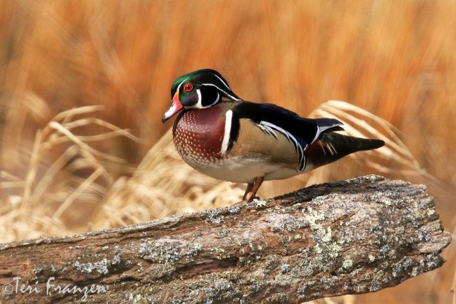 Wood Duck, upstate New York. Photo by Teri Franzen.