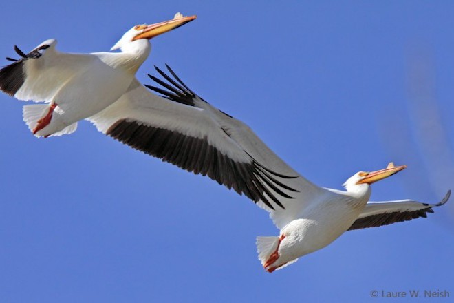Bird news: American White Pelicans fly over Penticton, British Columbia.