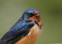 Barn-Swallow-Highwood-House