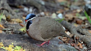 Blue-headed Quail-Dove at Cueva de los Peces, near Playa Larga, Cuba, February 21, 2016, by Sharp Photography (Wikimedia Commons).