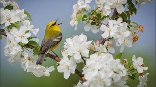 Blue-winged Warbler in Cuyahoga Valley National Park, May 10, 2015, by jbuescher.