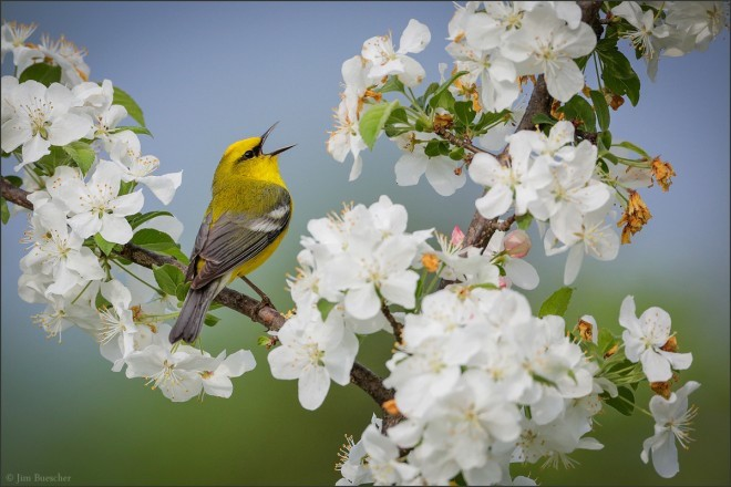 Blue-winged Warbler and Golden-winged Warbler made bird news recently.
