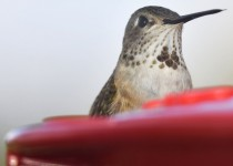 Broad-Tailed-Hummingbird-3
