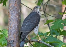 CoopersShinnedHawk84482Aug4