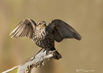 Red-winged Blackbird, female, Lakewood Park, Saskatoon, Saskatch