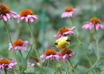 Goldfinch in the Coneflowers