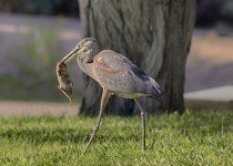 GREAT-BLUE-HERON-WM-RS-0005
