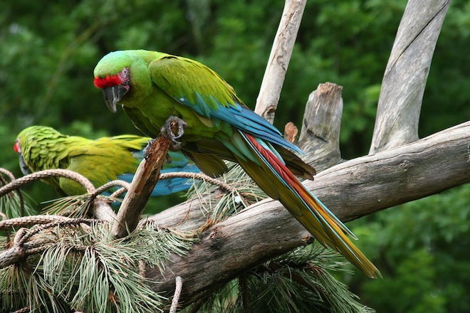 Great Green Macaw can be found at Selva Verde Lodge.