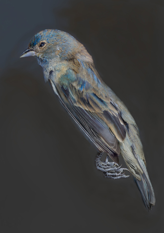 This dead Indigo Bunting was a subject for Art Fox's bird photography.