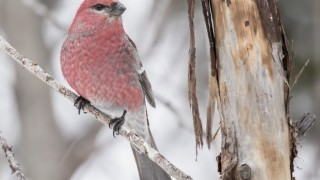 A Pine Grosbeak keeps watch at Sax Zim Bog, Minnesota.