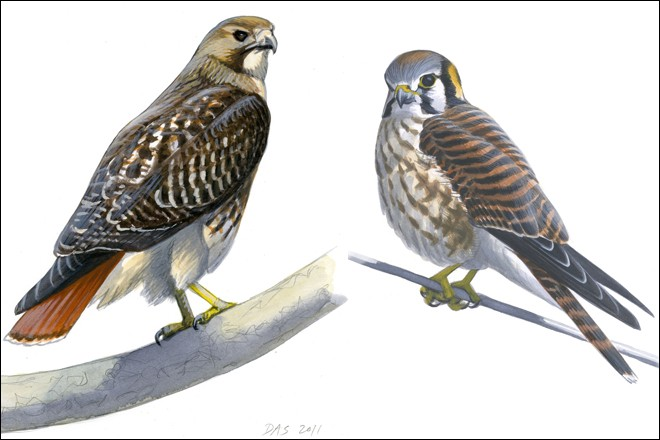 Red Tailed Hawk And American Kestrel By David Sibley