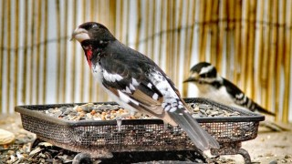 Rose-breasted Grosbeak & Downy Woodpecker