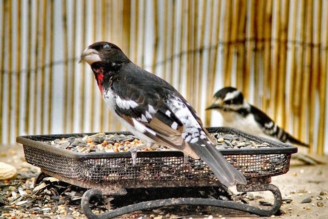 Rose-breasted Grosbeak & Downy Woodpecker
