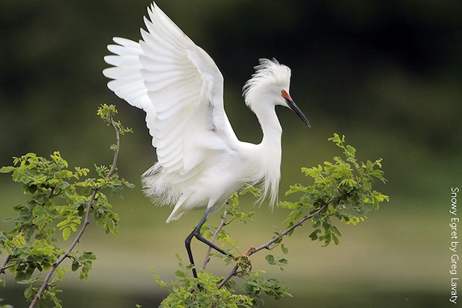 Snowy Egret is protected by the Migratory Bird Treaty Act.