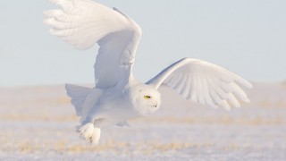 An all-white male Snowy Owl takes flight.