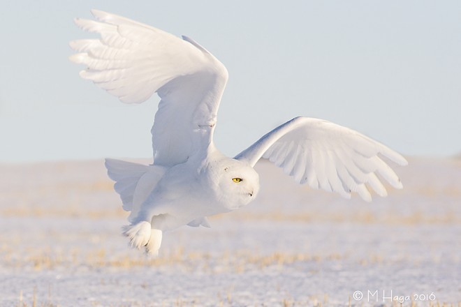 One of the wintering Snowy Owls takes flight.