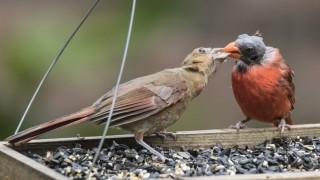 cardinal-dad-and-baby