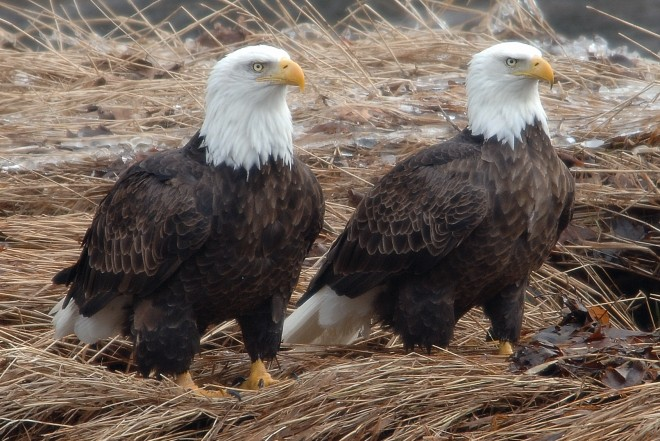 Bald Eagles make great birding events. This pair was in Pike County, Pennsylvania.