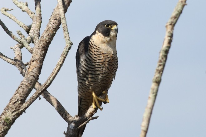 A Peregrine Falcon watches from a perch in a tree.