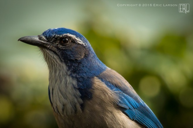 bd944c9a029 California Scrub-Jay, San Jose, California. Photo by Eric Larson.