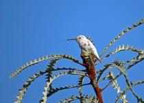 2-leucistic-annas-hummingbird-tony-britton-2016
